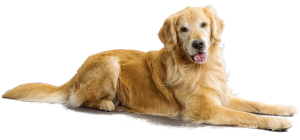 GoldenRetriever_cutout
