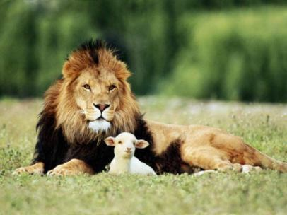 Lion Lamb
